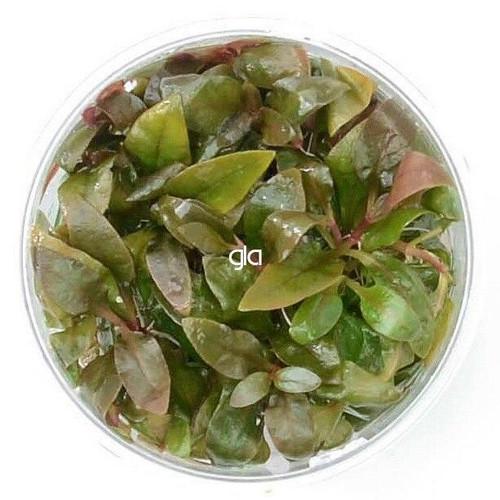 Alternanthera Lilacina (GLA Tissue Culture)