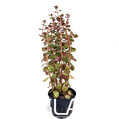 Rotala Hra (GLA Potted Plant)