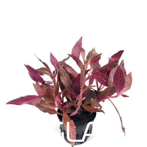 Alternanthera Reineckii Rosanervig (GLA Potted Plant)