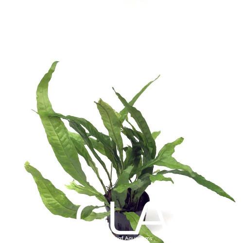 Microsorium Pteropus Apc Sunrise (GLA Potted Plant)