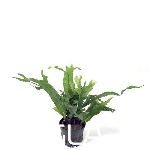 Microsorium Thors Hammer (GLA Potted Plant)