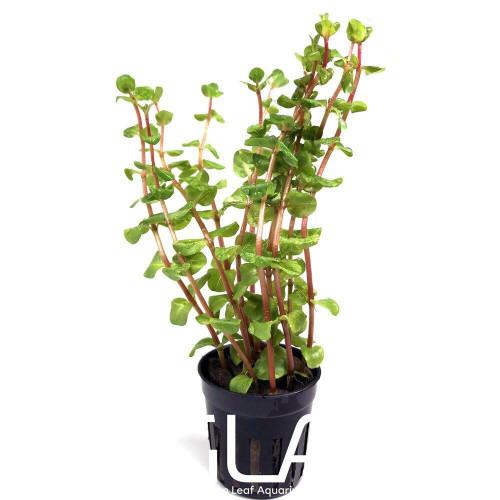 Rotala Macrandra Mini Pink (GLA Potted Plant)