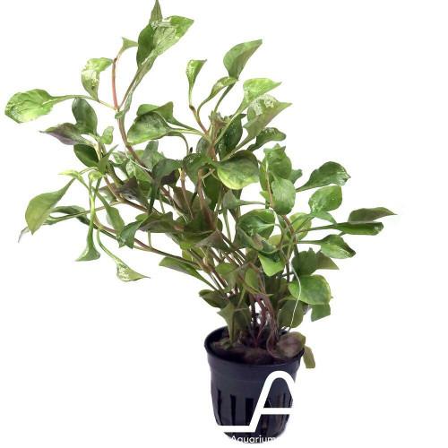 Alternanthera Bettzickiana Red (GLA Potted Plant)