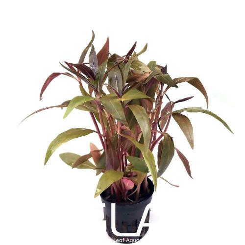 Alternanthera Reineckii (GLA Potted Plant)