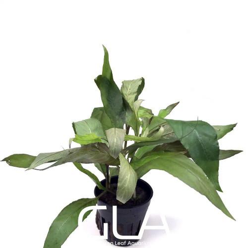 Hygrophila Corymbosa Siamensis/Stricta (GLA Potted Plant)