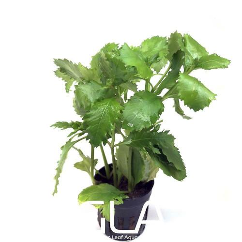 Hygrophila Difformis (GLA Potted Plant)