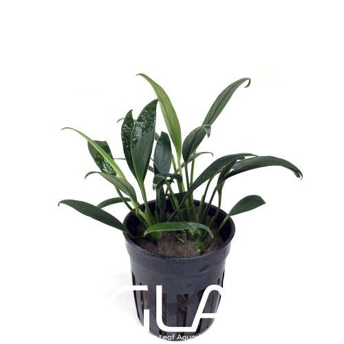Anubias Congensis Mini (GLA Potted Plant)
