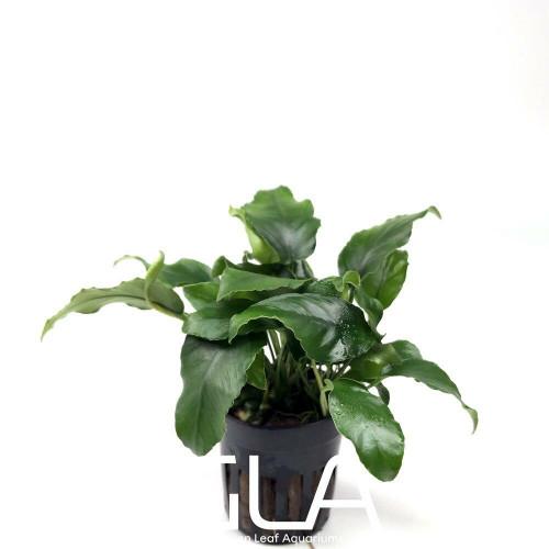 Anubias Nana Wrinkle Leave (GLA Potted Plant)