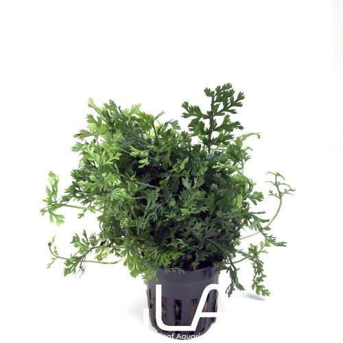 Bolbitis Heteroclita Difformis Baby Leaf (GLA Potted Plant)