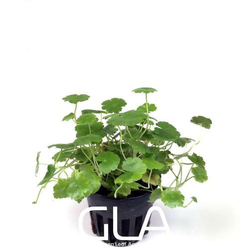 Cardamine Lyrata (GLA Potted Plant)