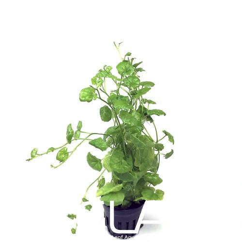 Cardamine Lyrata sp Vietnam (GLA Potted Plant)