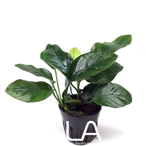 Anubias Barteri var Nana (GLA Potted Plant)