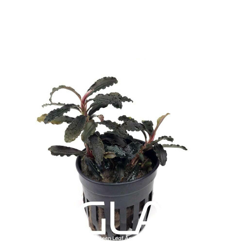 Bucephalandra Godzilla Kedagang Red (GLA Potted Plant)