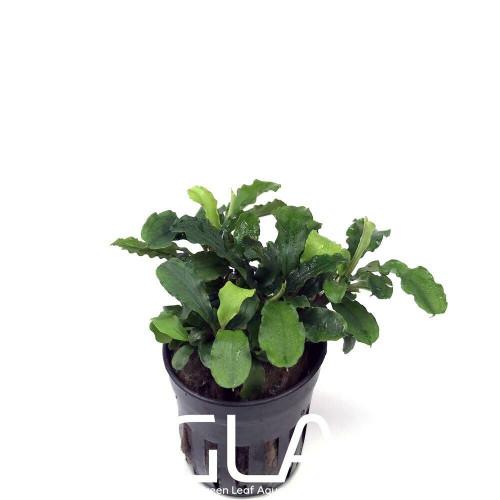 Bucephalandra Green Wavy (GLA Potted Plant)