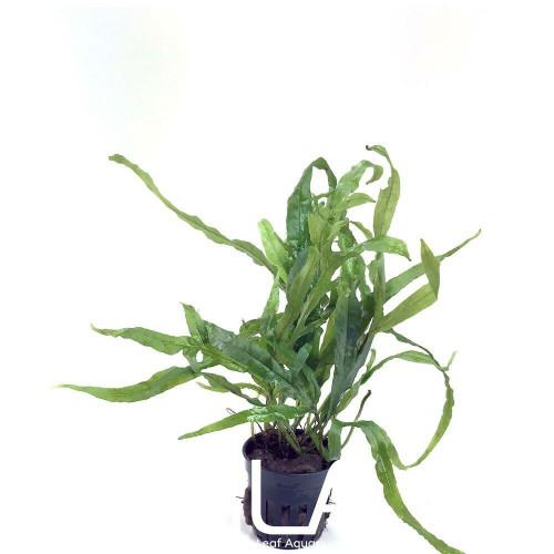 Microsorium Pteropus Trident (GLA Potted Plant)