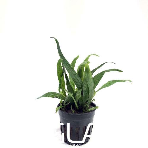 Microsorium Philippine Mini (GLA Potted Plant)