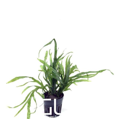 Microsorium Trident Mini (GLA Potted Plant)