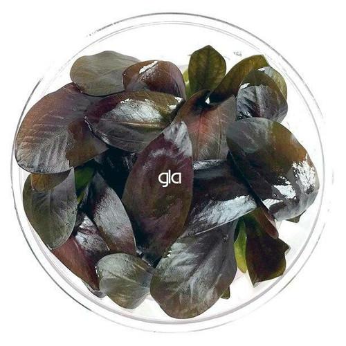 Echinodorus Reni (GLA Tissue Culture)
