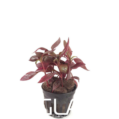 Alternanthera Reineckii Red Broad (GLA Potted Plant)