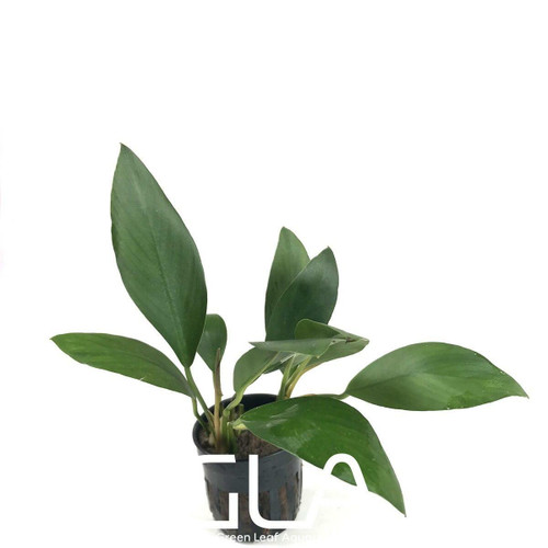 Anubias Congensis Broad (GLA Potted Plant)