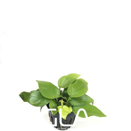 Anubias Nana Golden (GLA Potted Plant)
