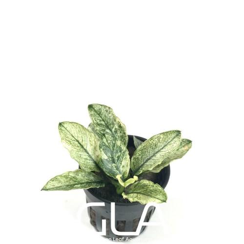 Anubias Nana Pinto (GLA Potted Plant)