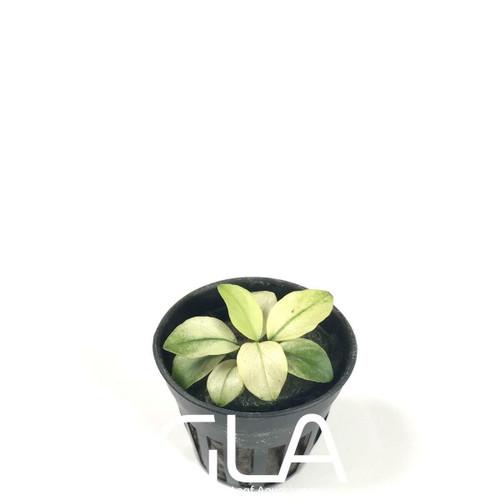 Anubias sp Broad White (GLA Potted Plant)