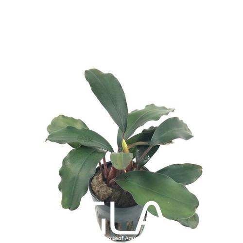 Bucephalandra Green Broad Leaf (GLA Potted Plant)