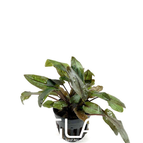 Cryptocoryne Tropica (GLA Potted Plant)