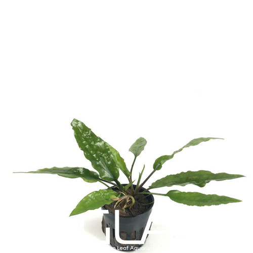Cryptocoryne Usteriana Green (GLA Potted Plant)