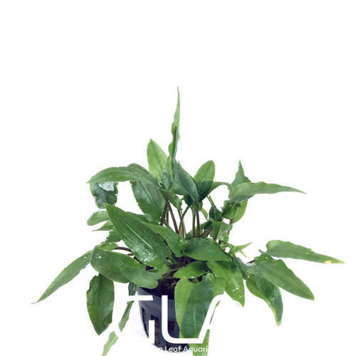 Cryptocoryne Wendtii Green (GLA Potted Plant)