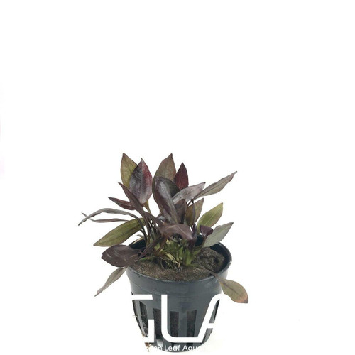 Echinodorus Aflame (GLA Potted Plant)