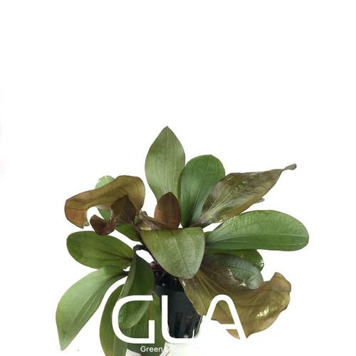 Echinodorus Big Bear (GLA Potted Plant)