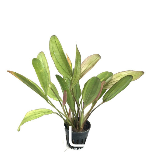 Echinodorus Chameleon (GLA Potted Plant)