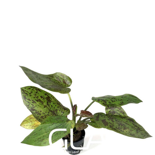 Echinodorus Chocolate Marble (GLA Potted Plant)