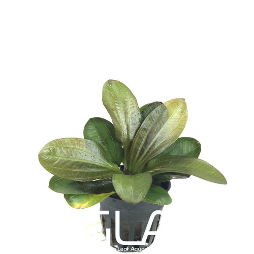 Echinodorus Hadi Red Pearl (GLA Potted Plant)