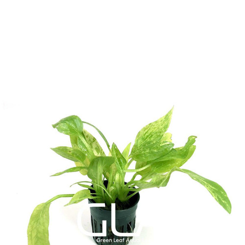 Echinodorus Marble Queen (GLA Potted Plant)