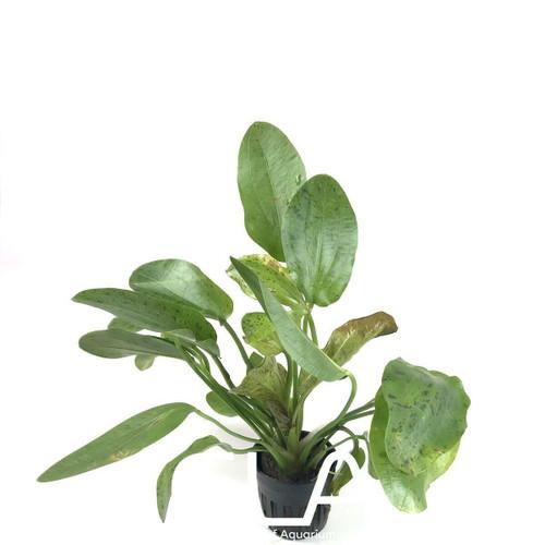 Echinodorus Ozelot Green (GLA Potted Plant)