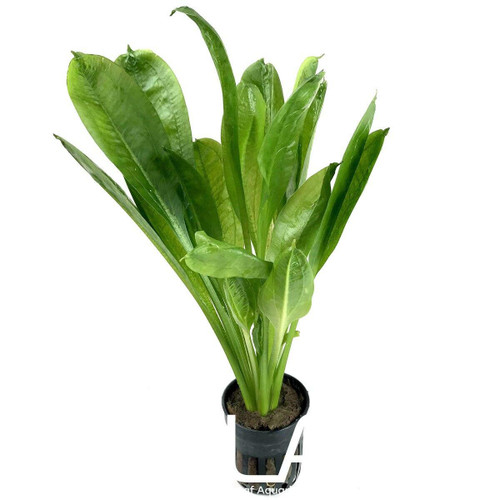Echinodorus Parviflorus (GLA Potted Plant)