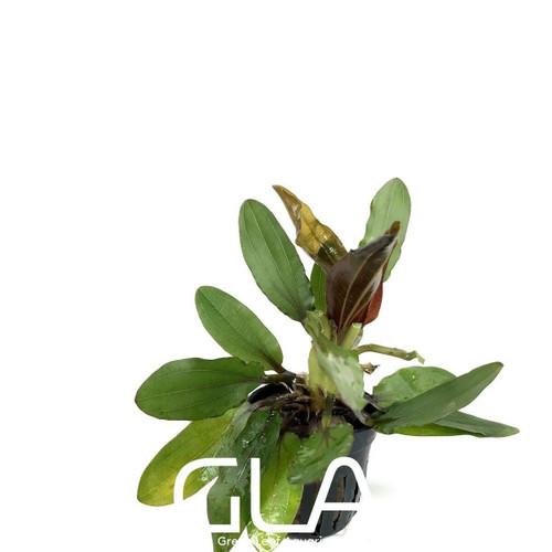 Echinodorus Red Rubin (GLA Potted Plant)