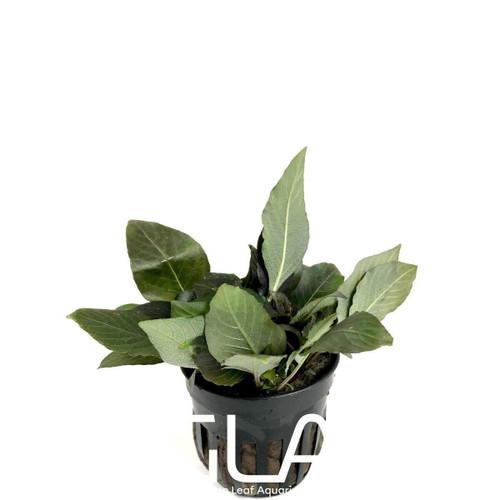 Nomaphila Siamensis Dwarf Corymbosa Compacta (GLA Potted Plant)
