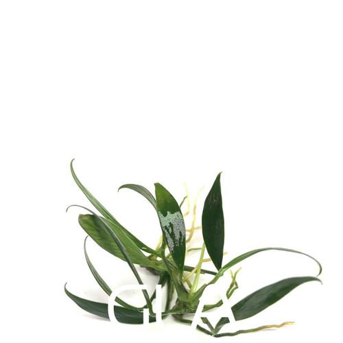 Anubias Congensis Mini (Bare Root)