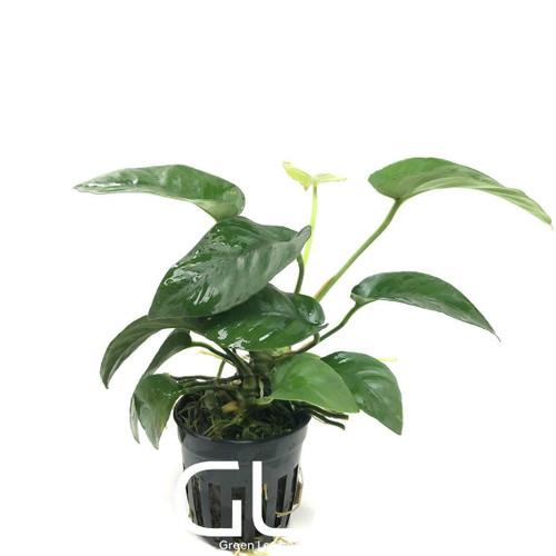 Anubias Barteri Striped (GLA Potted Plant)