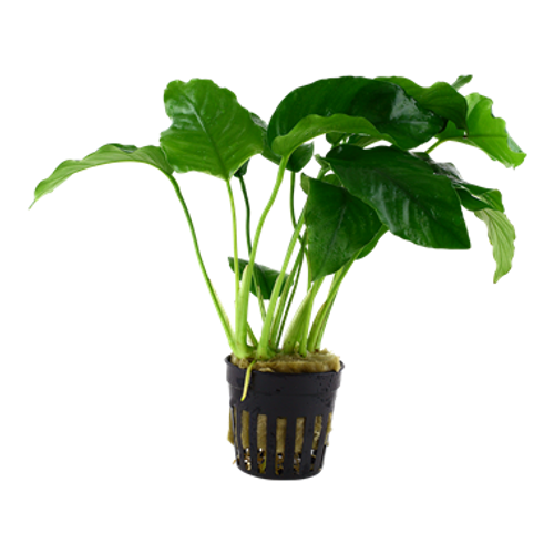 Anubias Barteri var Barteri (GLA Potted Plant)