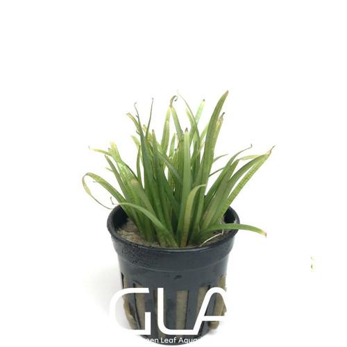 Sagittaria Subulata (GLA Potted Plant)