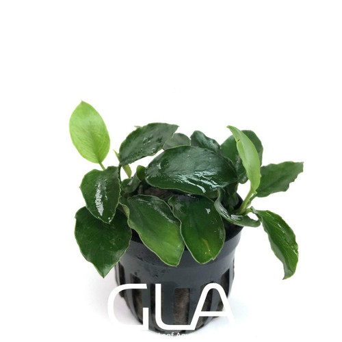 Anubias Nana Long Wavy (GLA Potted Plant)