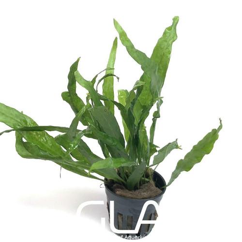 Microsorium Pteropus sp Narrow (GLA Potted Plant)