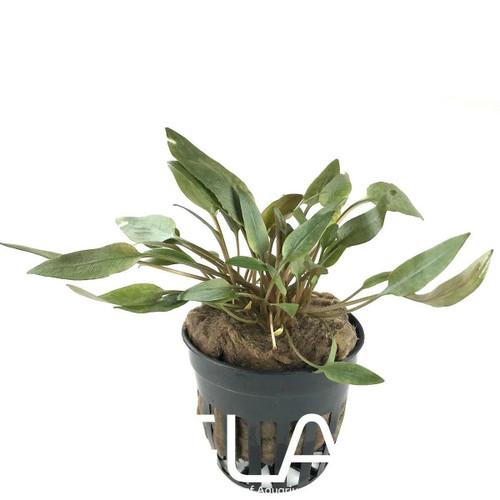 Cryptocoryne Becketii (GLA Potted Plant)