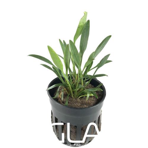 Cryptocoryne Lucens (GLA Potted Plant)