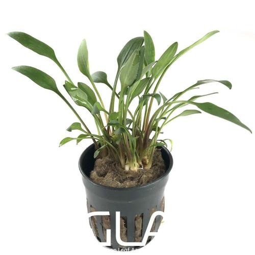 Cryptocoryne Lutea (GLA Potted Plant)
